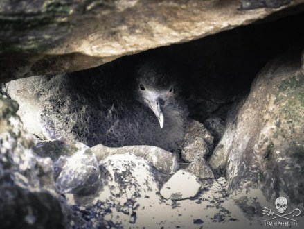 editorial-141008-1-4-140907-sa-001-shearwater-chick-looking-out-from-nest-1478-550w