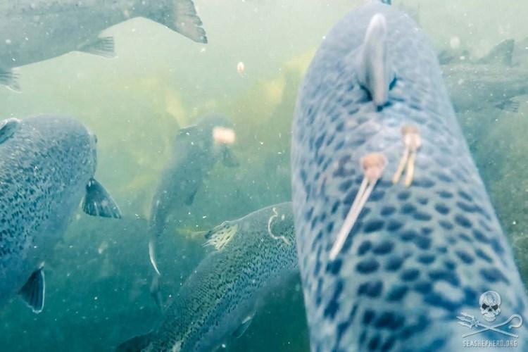 news-170815-1-10-170810-SA-Farmed-Atlantic-salmon-with-sea-lice-001-1200w.jpg