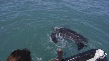180422_Sea_Shepherd_Leatherback_turtle_rescue_2