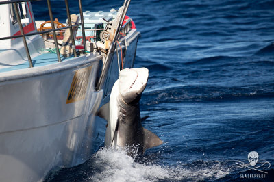 editorial-150213-1-140222-Tiger-shark-kill-Gracetown-tiger-1-moses-4-400w