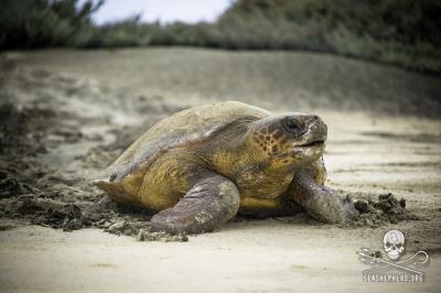 editorial-140911-1-4-140818-sa-001-loggerhead-heading-back-to-ocean-after-laying-1618-400w.jpg