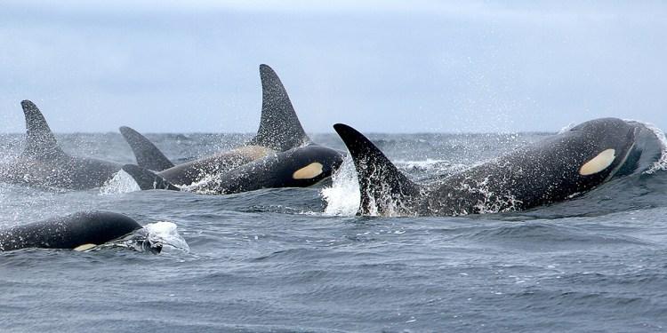 Holly Fearnbach, NOAA nmmlweb-killerwhale-lrg-101