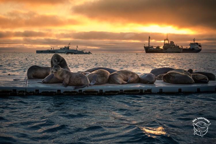 180915-OM-SA-Galapagos-sealions-at-sunset-in-San-Cristobal-Galapagos-_66A8589
