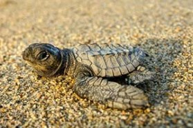 news-160505-1-2-Newly-hatched-Olive-Ridley-making-a-run-for-the-ocean-300w