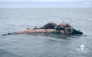news-170219-1-1-GB-170218-dead-whale-45A2674-1000w (1)
