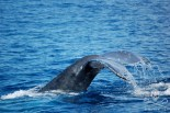 Whale tail. Photo: Captain Fanch / Sea Shepherd