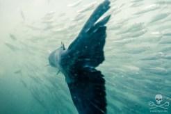 news-170815-1-7-170810-SA-Farmed-Atlantic-salmon-swims-through-school-of-wild-Herring-in-pen-002-1200w