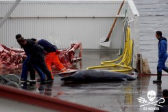 Dead-fetus-of-a-Fin-whale-is-dragged-out-of-public-view-during-the-butchering-of-its-harpooned-mother