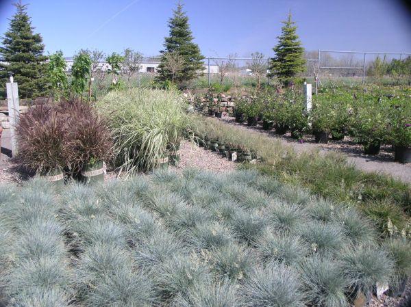 ornamental grasses seasonal nursery