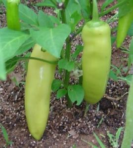 banana_pepper