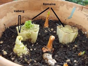 I'm playing with the core of the iceberg lettuce, so we'll see what happens - it has sprouted.