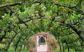 apples espalier canopy