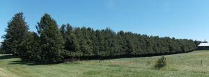 Farmstead Arborvitae Hedge