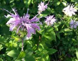 Parsley, sage, rosemary and bee balm (or, How to eat the prairie)