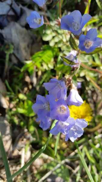purple bell-shaped flowers