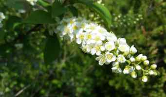 Plant of the Day: Wild cherries