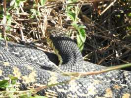 Reptile of the Day: Giant Hognose Snake