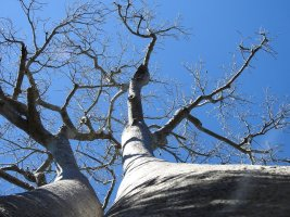 Plant of the Day: The Amazing Baobab