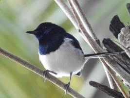 Bird of the Day: Madagascar Magpie-Robin