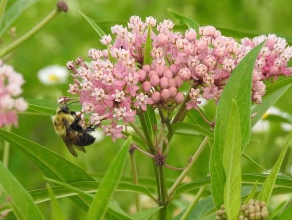 bumblebee on swamp milkweed