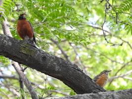Birds of the Day: American Robin parent and chick