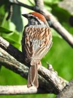 Bird of the Day: Chipping Sparrow