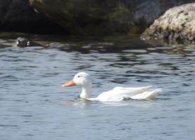 Bird of the Day: A White Duck