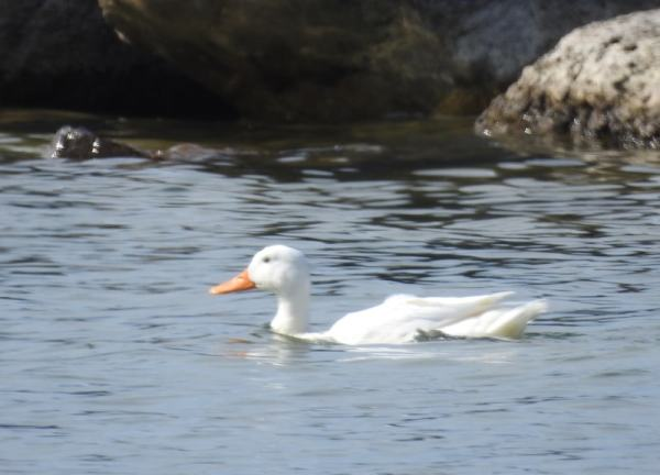 white duck swimming near rocks