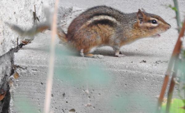 chipmunk sounding alarm call