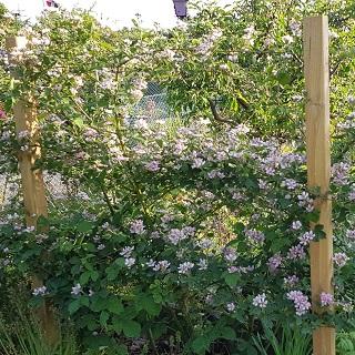 blackberries in bloom