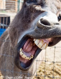 Big Mouth Donkey