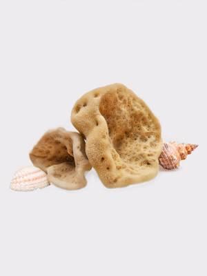 Elephant ear sponge, seasponges.eu