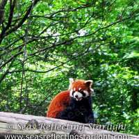 Weekly Photo Challenge: Unique - Red Panda