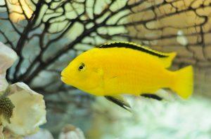 Lifespan Of Aquarium Fish Reviewwalls Co