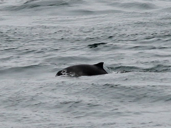 Porpoise_Pembrokeshire_Sea_Trust_Website
