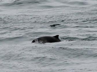 Porpoise_Pembrokeshire_Sea_Trust_Website