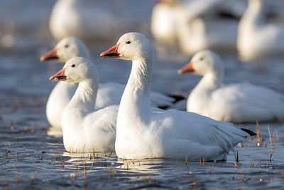 Snow geese | Photo by Mick Thompson, Eastside Audubon