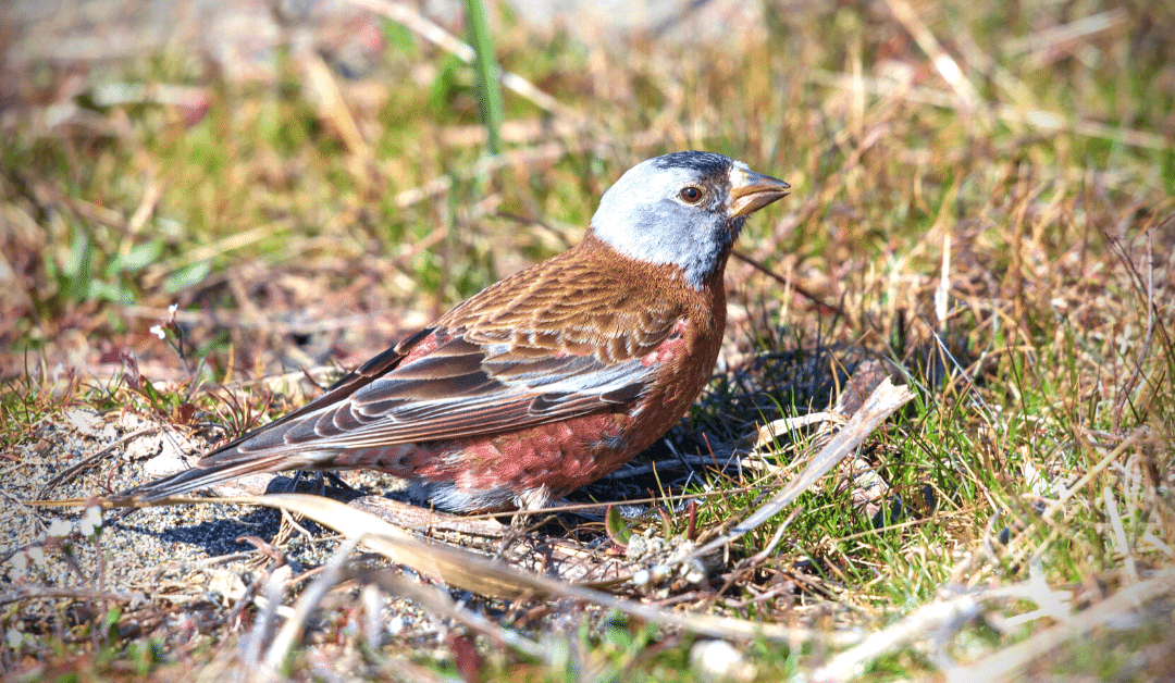 A Rosy-Finch by any other name—sweeter without eponyms
