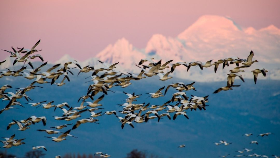 Snow Geese and Mount Baker (Kulshan)