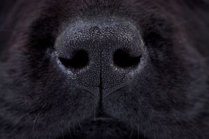 nose of bed bug scent detection dogs