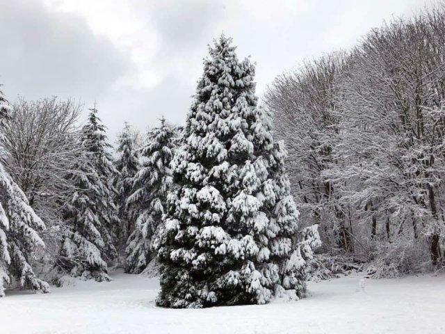 example of submission: photo of snow scene -- clearing with mature evergreen in foreground.