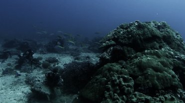 Clip 16: Yellowstriped Fusileer. Dive site: Bongoyo Patches