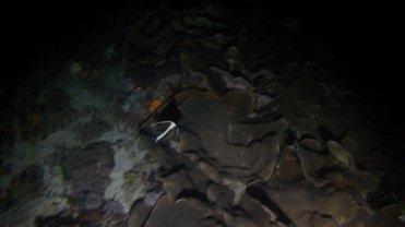 Clip 42: Moorish Idol during a night dive. Dive site: Pipe Fish City