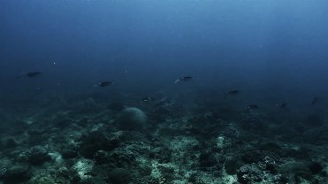 Clip 9: A school of squids. Dive site: Schlemmerstad Wreck