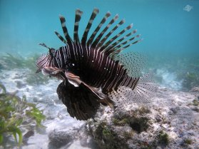 Lionfish in Waters of Mafia Island 1024 x 768