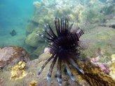 Lionfish off Coast of Kilwa 1024 x 768