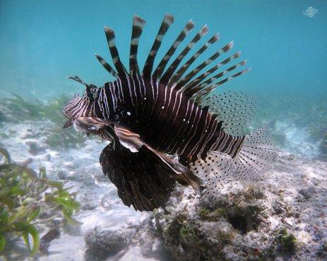 Lionfish in Waters of Mafia Island 1280 x 1024