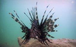 Lionfish in Dar es Salaam 1680 x 1050