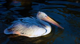 Pelican 1920 x 1080