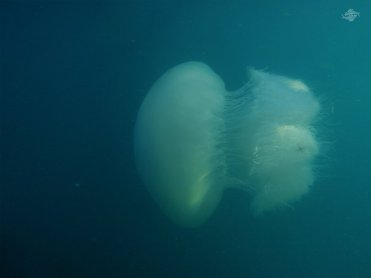 Side View of the Giant Jelly 1024 x 768